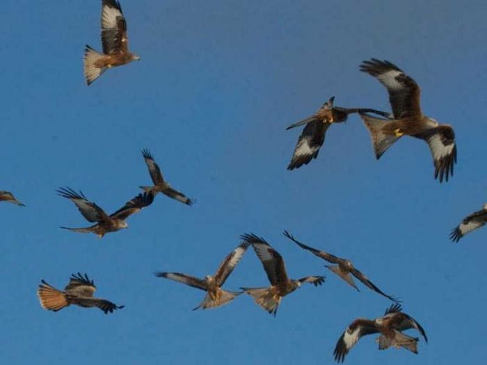 Red Kites at Gigrin farm.jpg